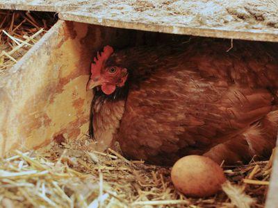 hen in a hen box