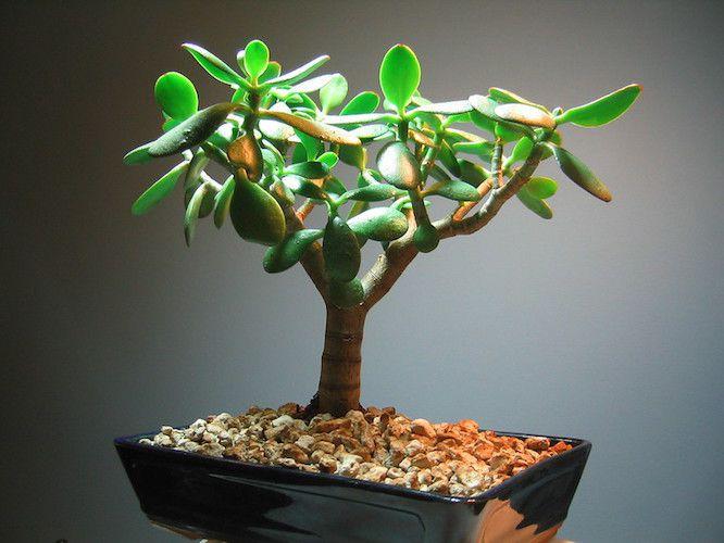 Jade plant bonsai in ceramic rectangular planter with stones