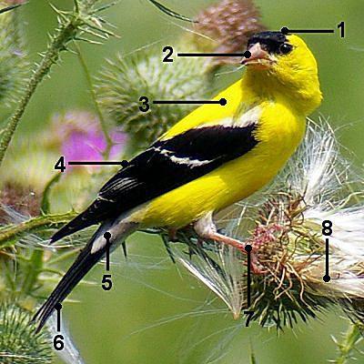 American Goldfinch - Breeding Male