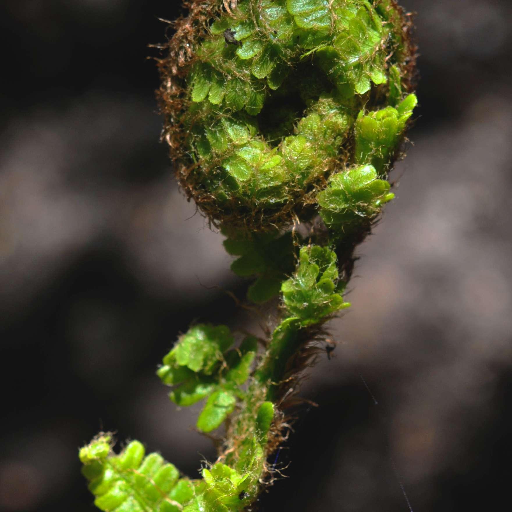 Ostrich fern frond closeup
