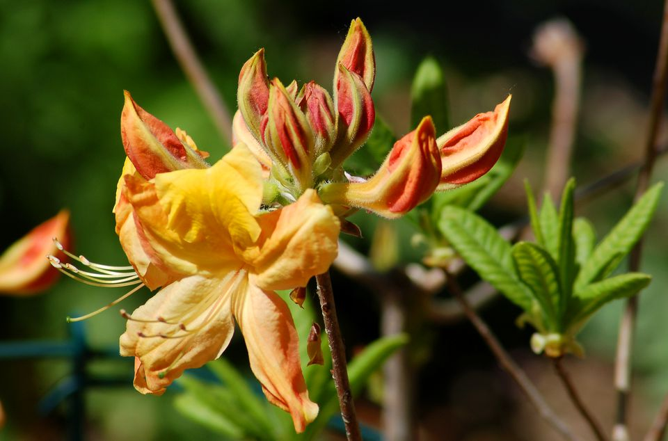 Golden Oriole azalea in bloom.