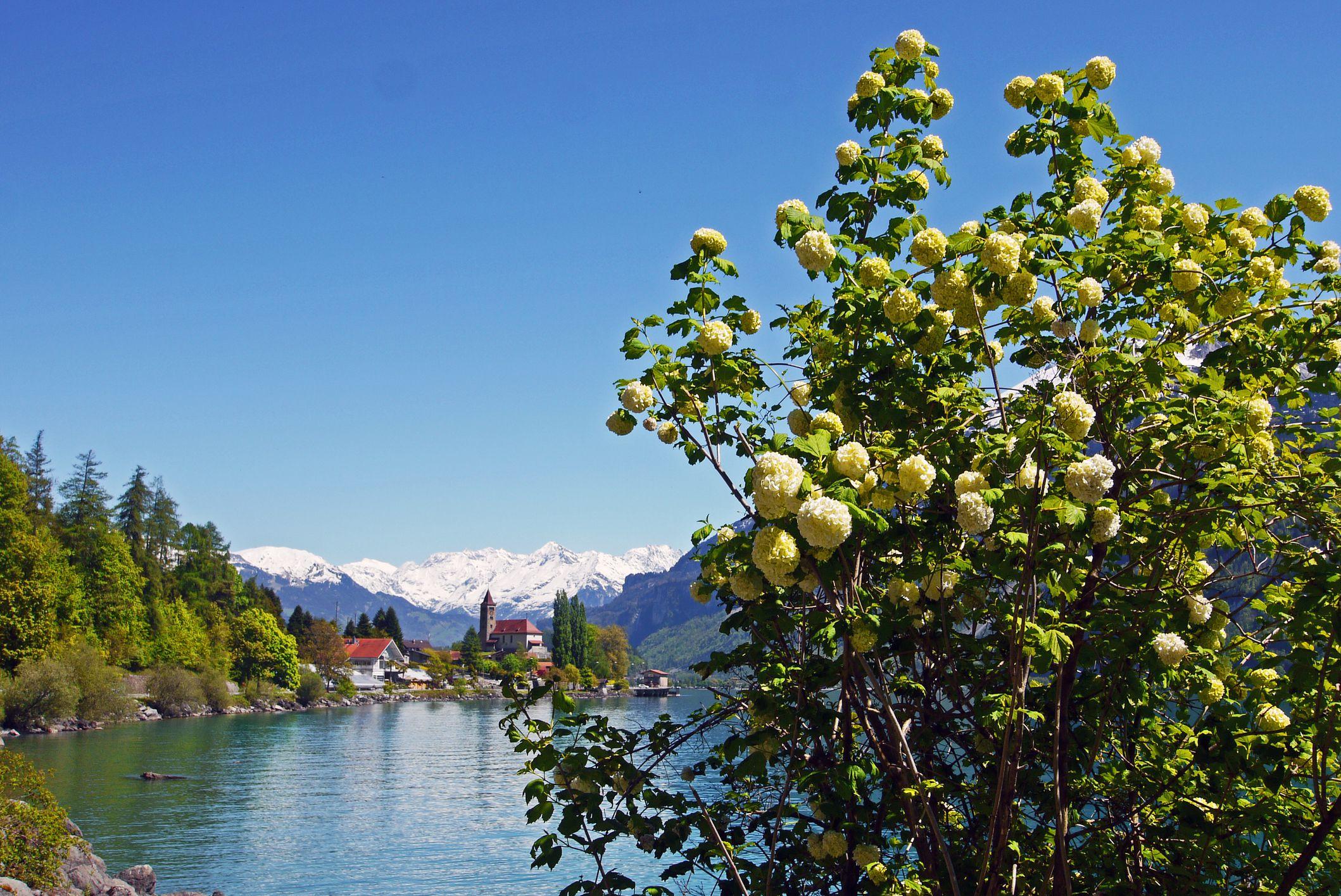 A tall snowball bush in the Swiss Alps
