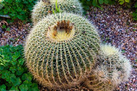 Tips And Tricks For Growing Ball Cactus