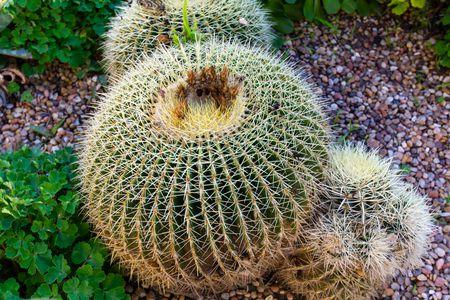 Ball Cactus Parodia In Garden