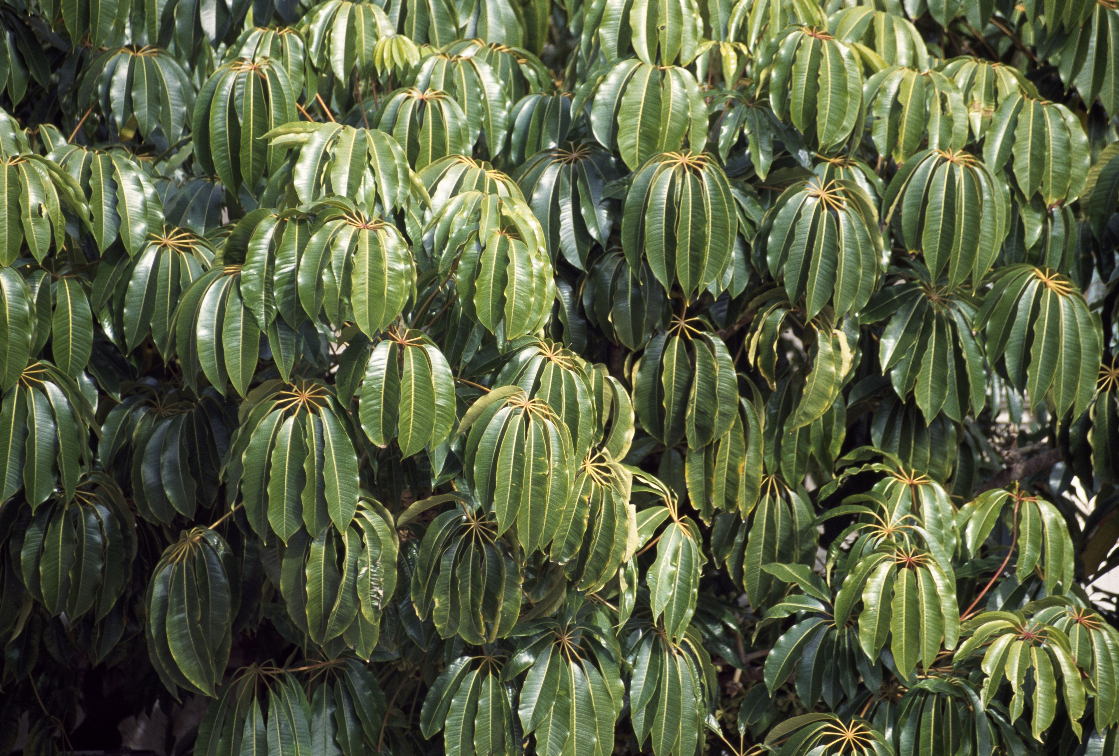 Schefflera pueckleri foliage