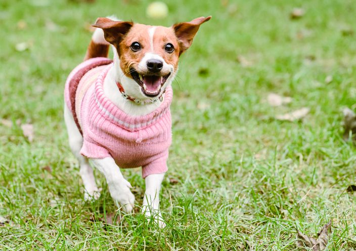 Dog in pink sweater playing