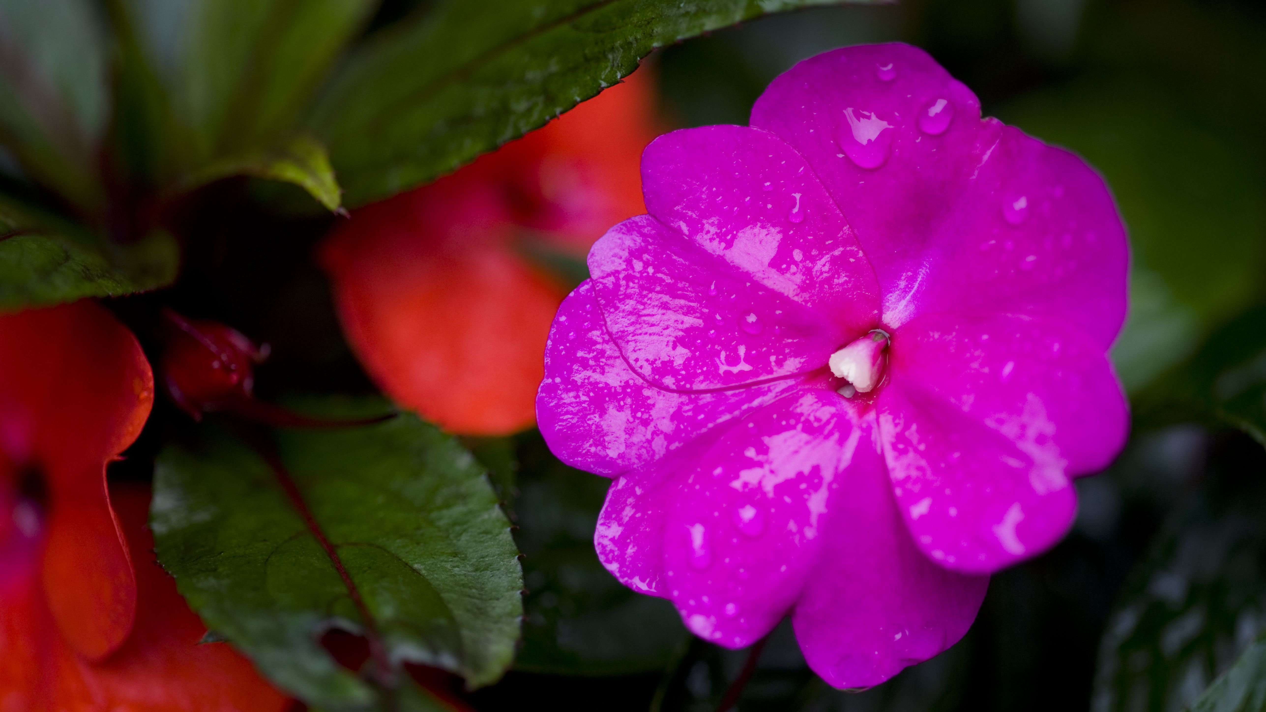 How To Grow And Care For New Guinea Impatiens