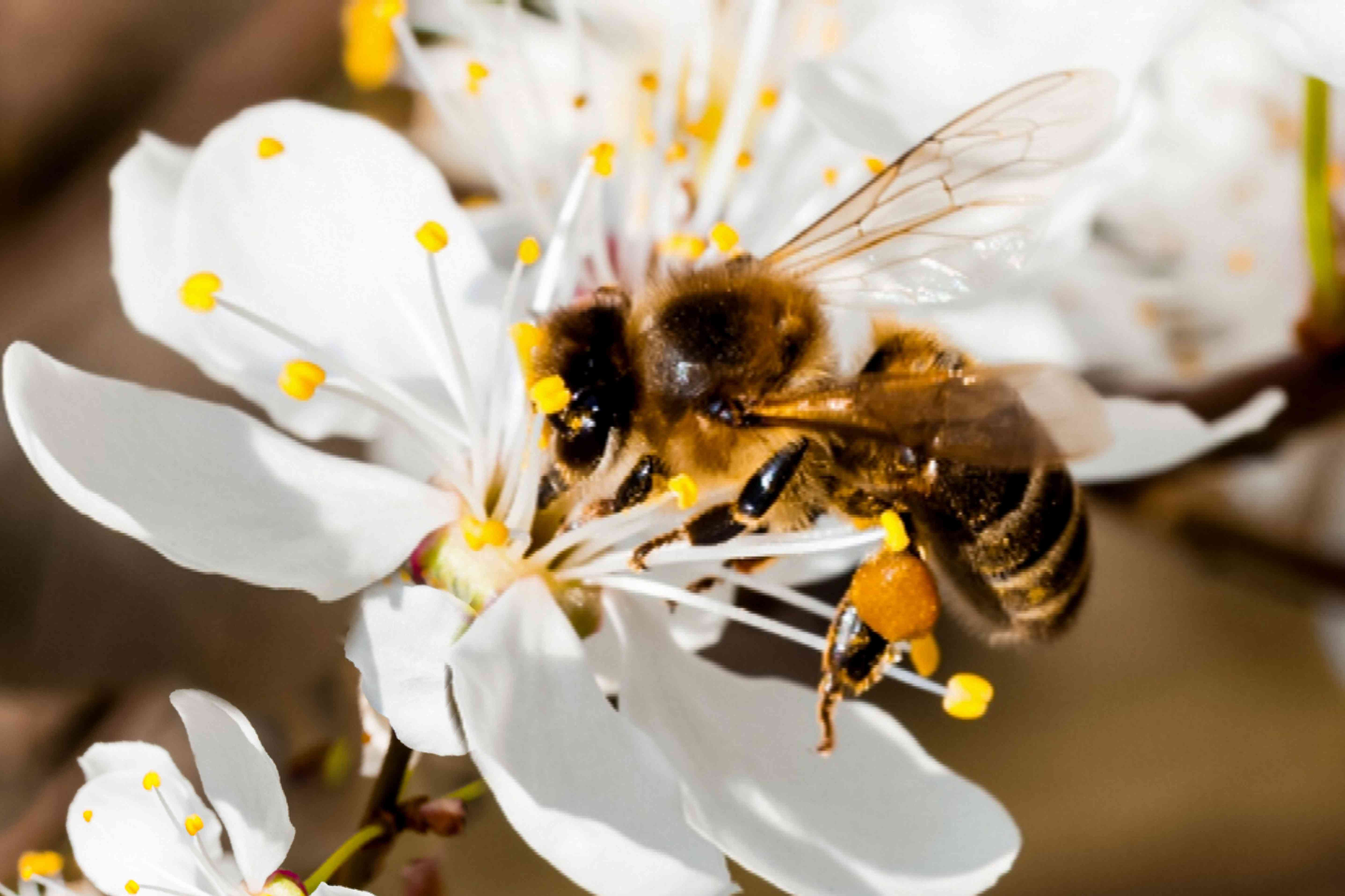 bee pollinating a fruit tree