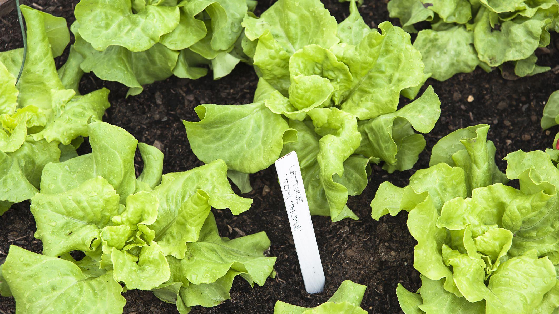 Lettuce Growing In The Heat Of Summer