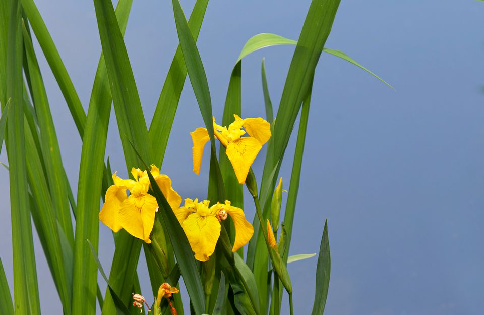 Yellow irises with long narrow leaves closeup