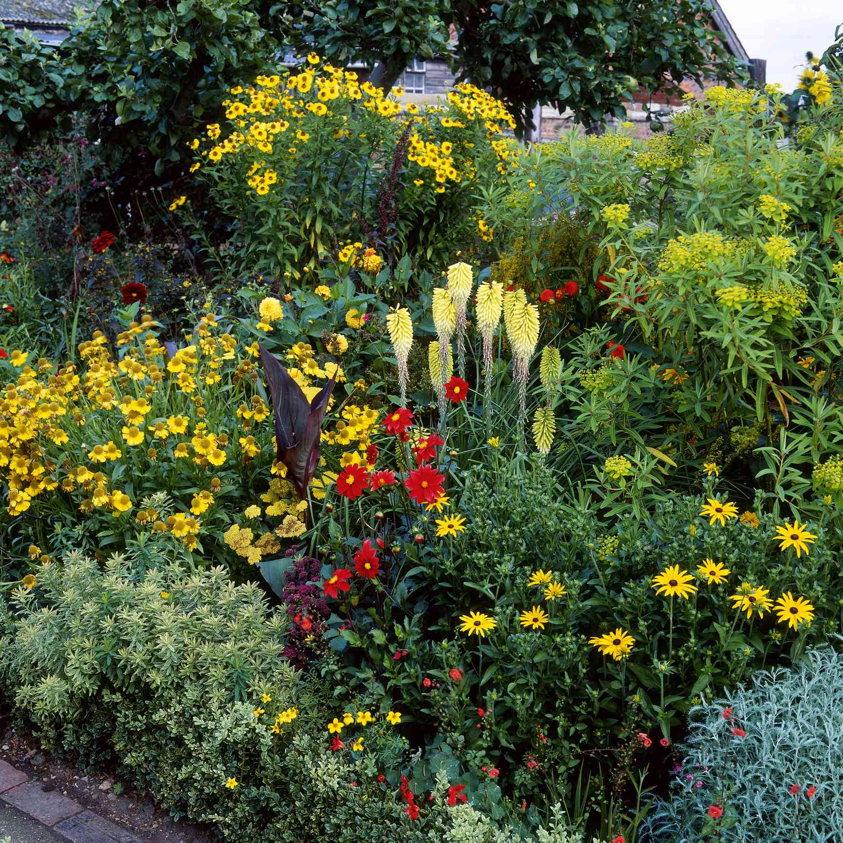 Yellow Kniphofia, Helenium, and Dahlias