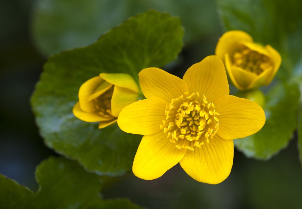 Marsh Marigold (Caltha palustris) in Michigan. Also known as Cowslip, it is of the Buttercup Family (Ranunculaceae).