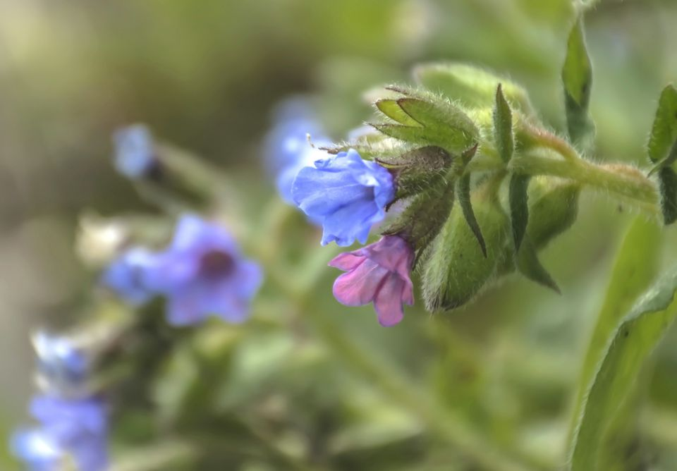 Lungwort Flowers (Pulmonaria)