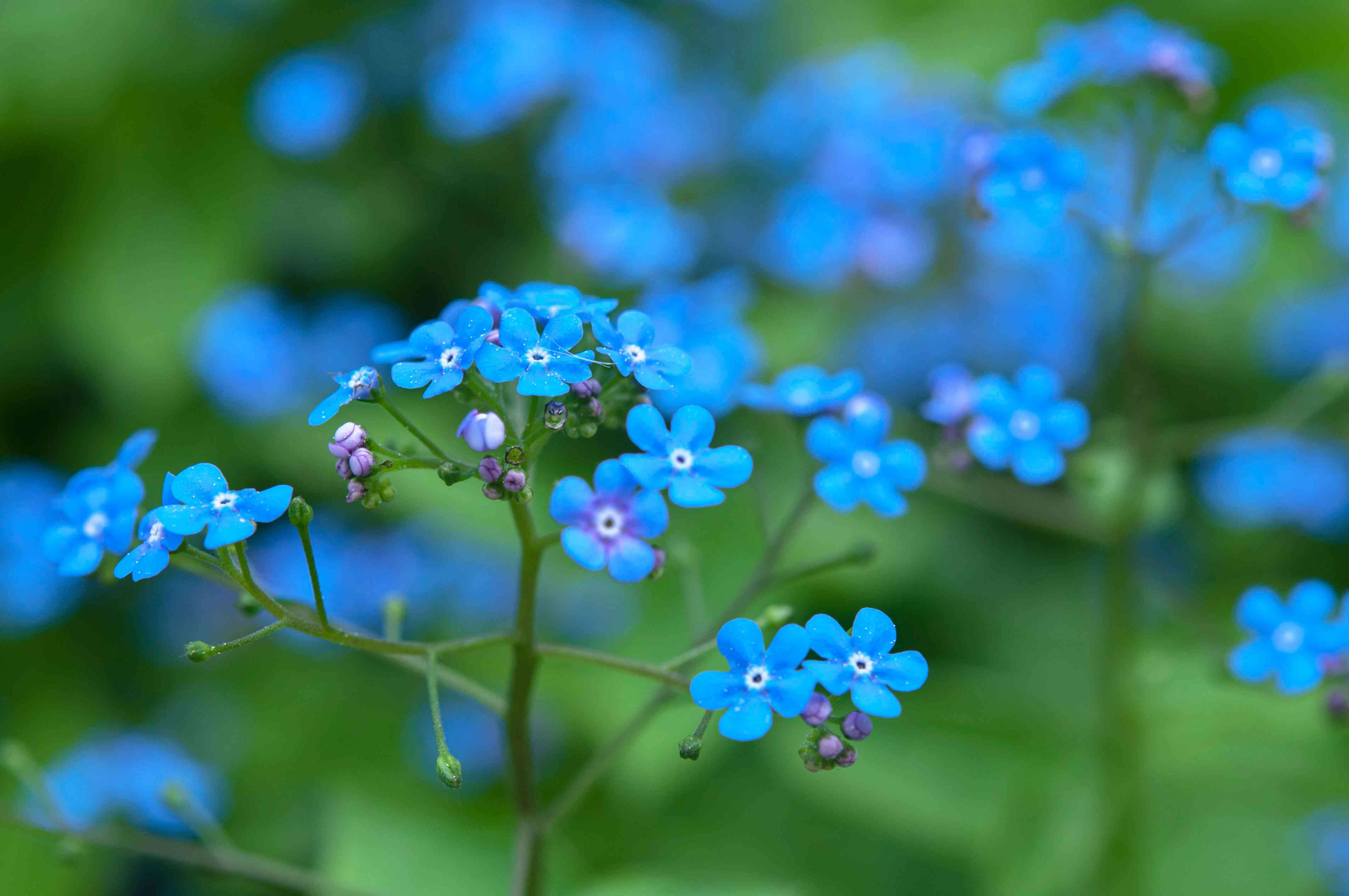 Siberian bugloss plant with small clump-forming blue flowers closeup
