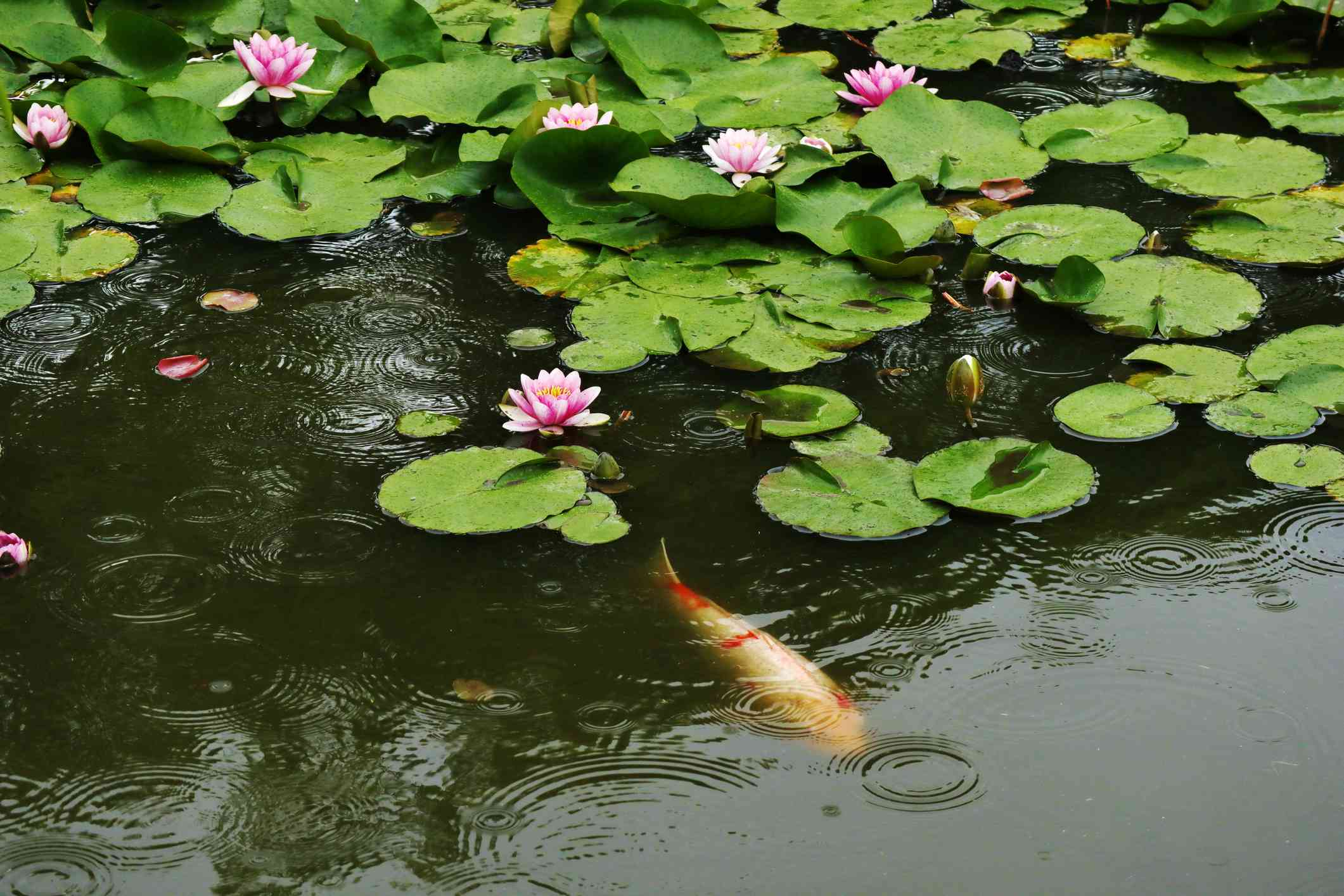 A koi fish swimming under green lily pads.
