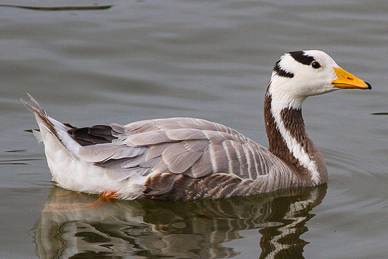 Swimming Bar-Headed Goose