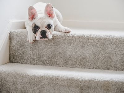 French Bulldog puppy resting on the staircase landing, England