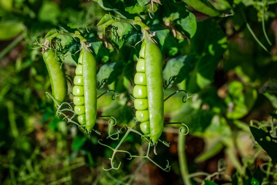 peas growing in a garden