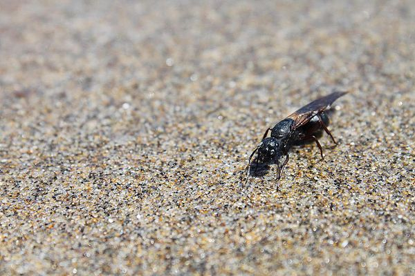 Winged Carpenter Ant at Rockaway Beach
