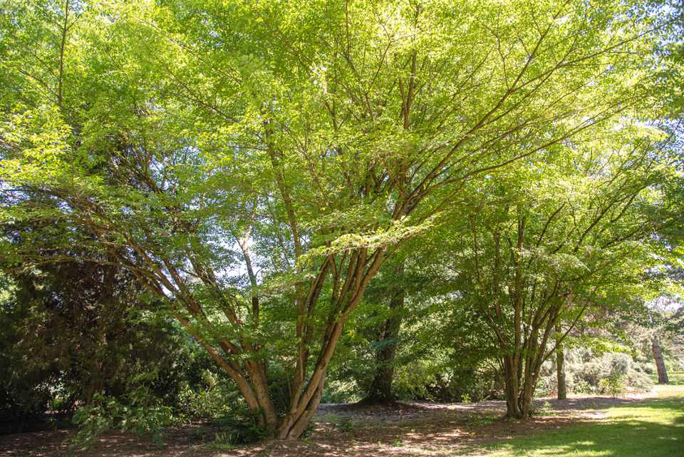 Vine leaf maple tree with multiple trunks and bright green leaves on sprawling branches