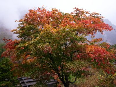 How To Grow And Care For The Amur Maple Tree