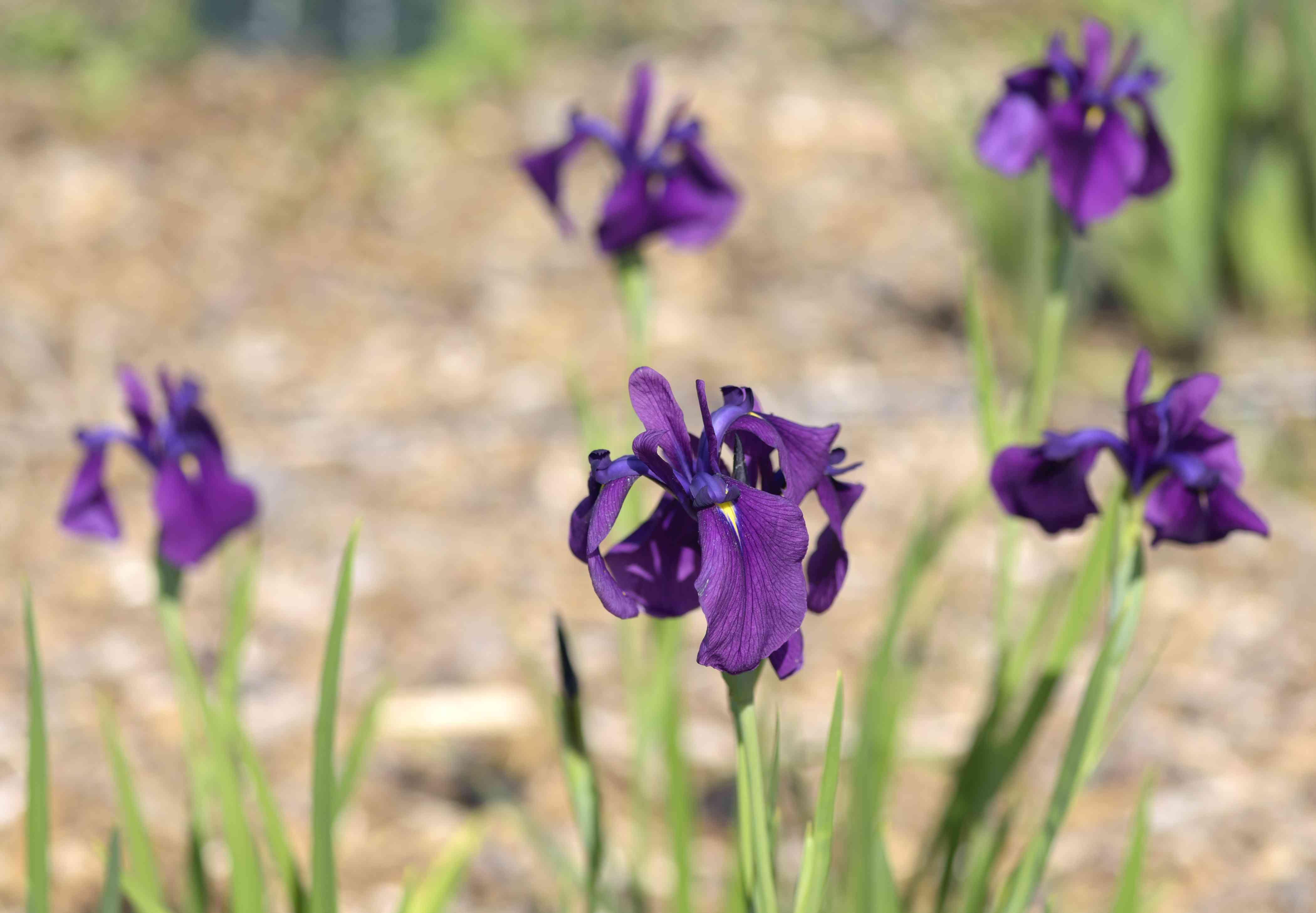 Japanese iris plant with dark purple flowers on thin stems and blade-like leaves