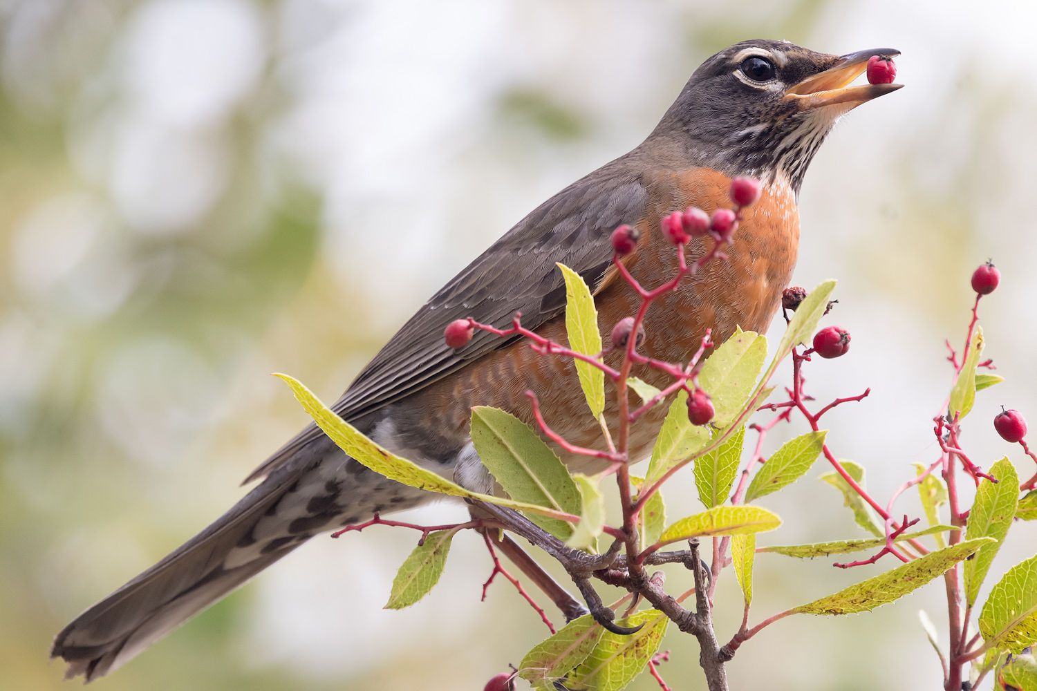 Favorite Foods And Feeding Robins