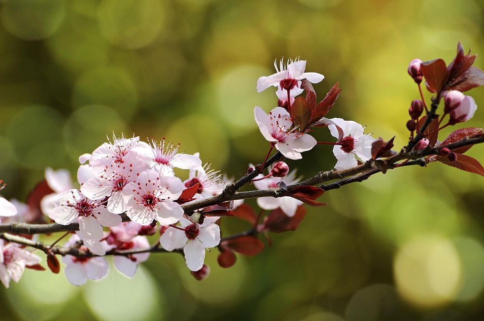 Pink plum blossoms of purple-leaved cherry plum, Prunus cerasifera.