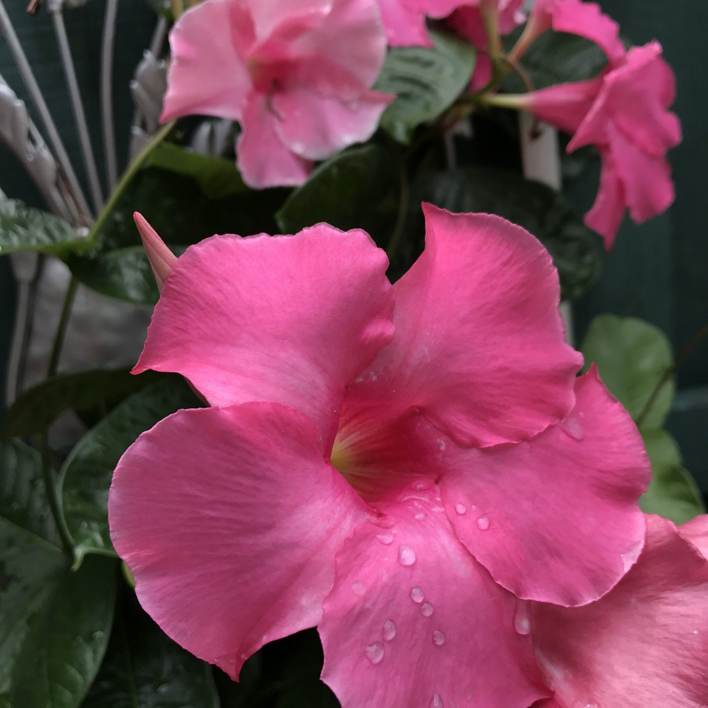 e6716bfada9 How to Grow Dipladenia and Mandevilla in Containers