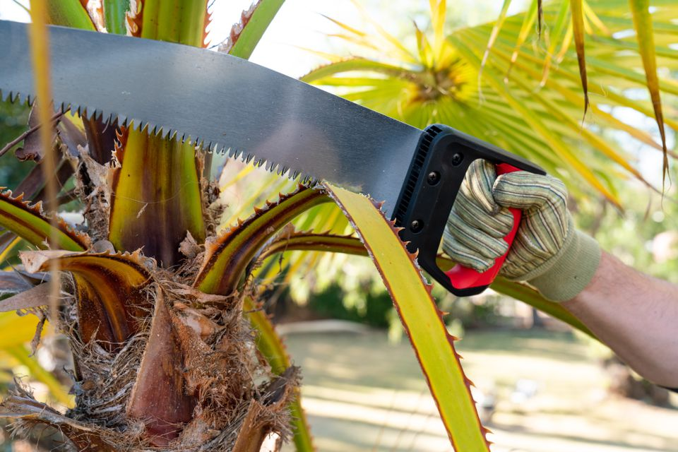 person pruning a palm tree