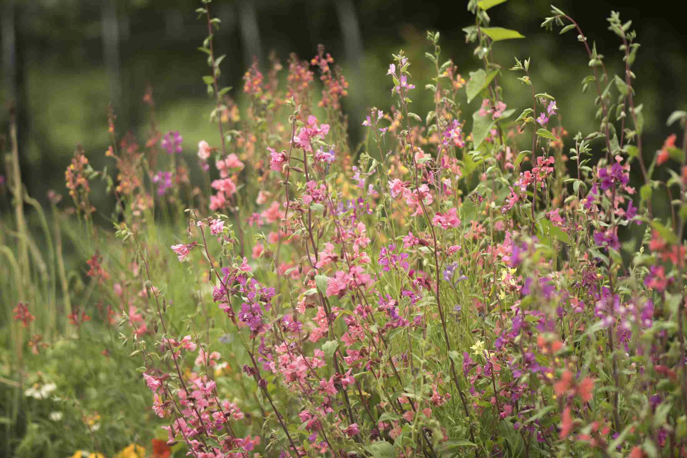 Clarkia elegans Flowers