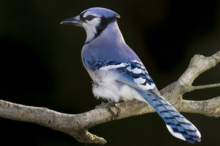 picture of a blue jay Blue Jay - Cyanocitta cristata