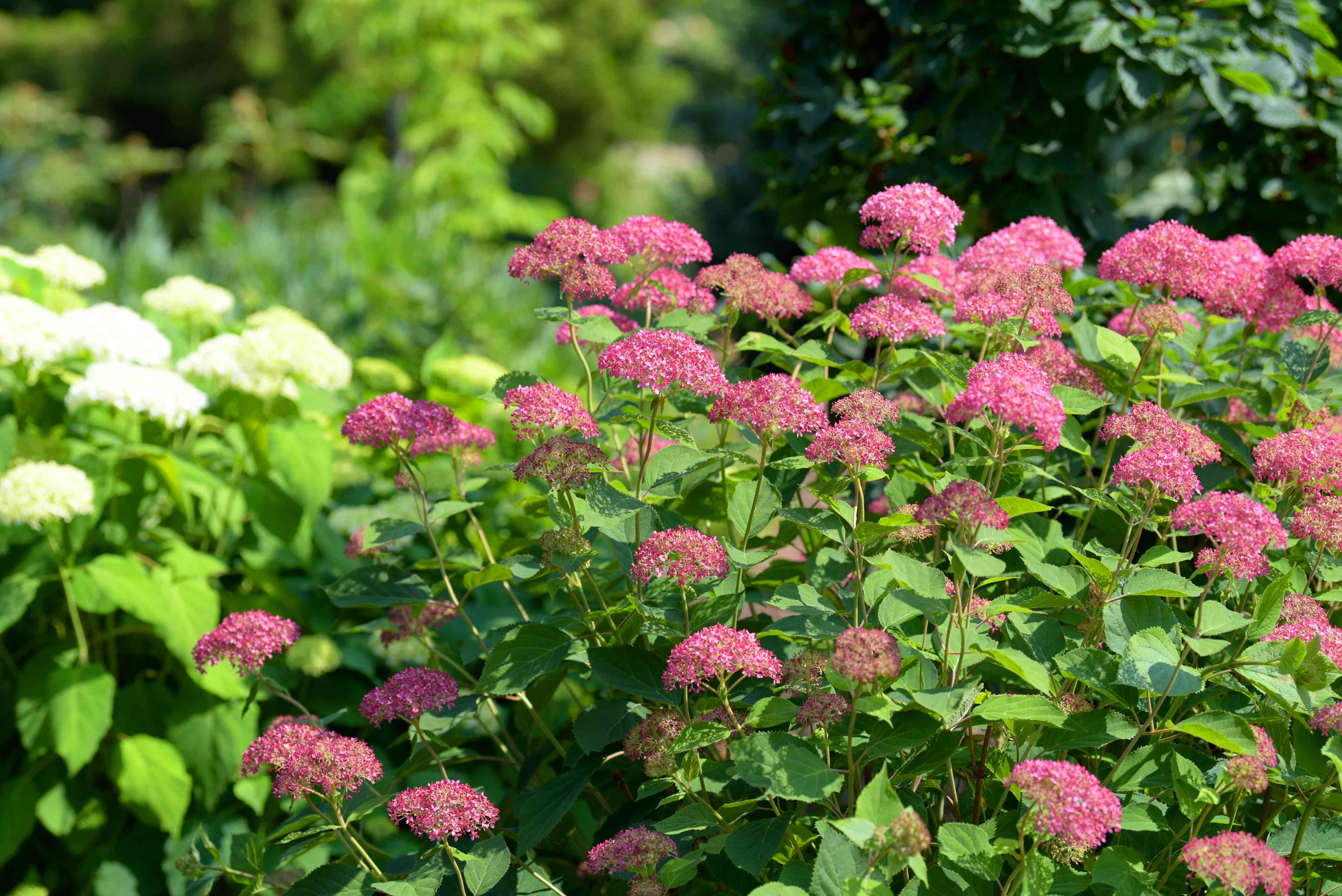 Invincibelle spirit hydrangea shrubs with pink and flower head clusters on tall thin stems and large leaves