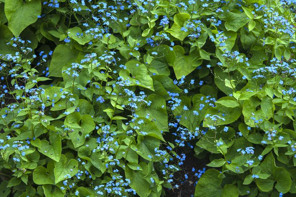 Siberian bugloss perennial plant with small blue flowers in front of large leaves