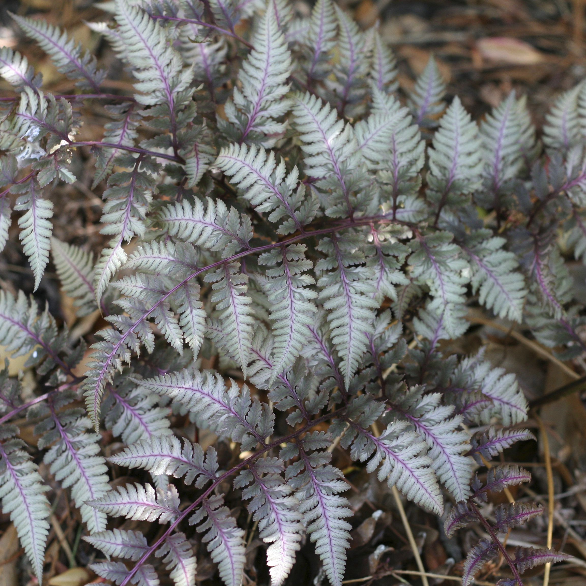 Japanese Painted Fern: Masterpiece of the Shade Garden