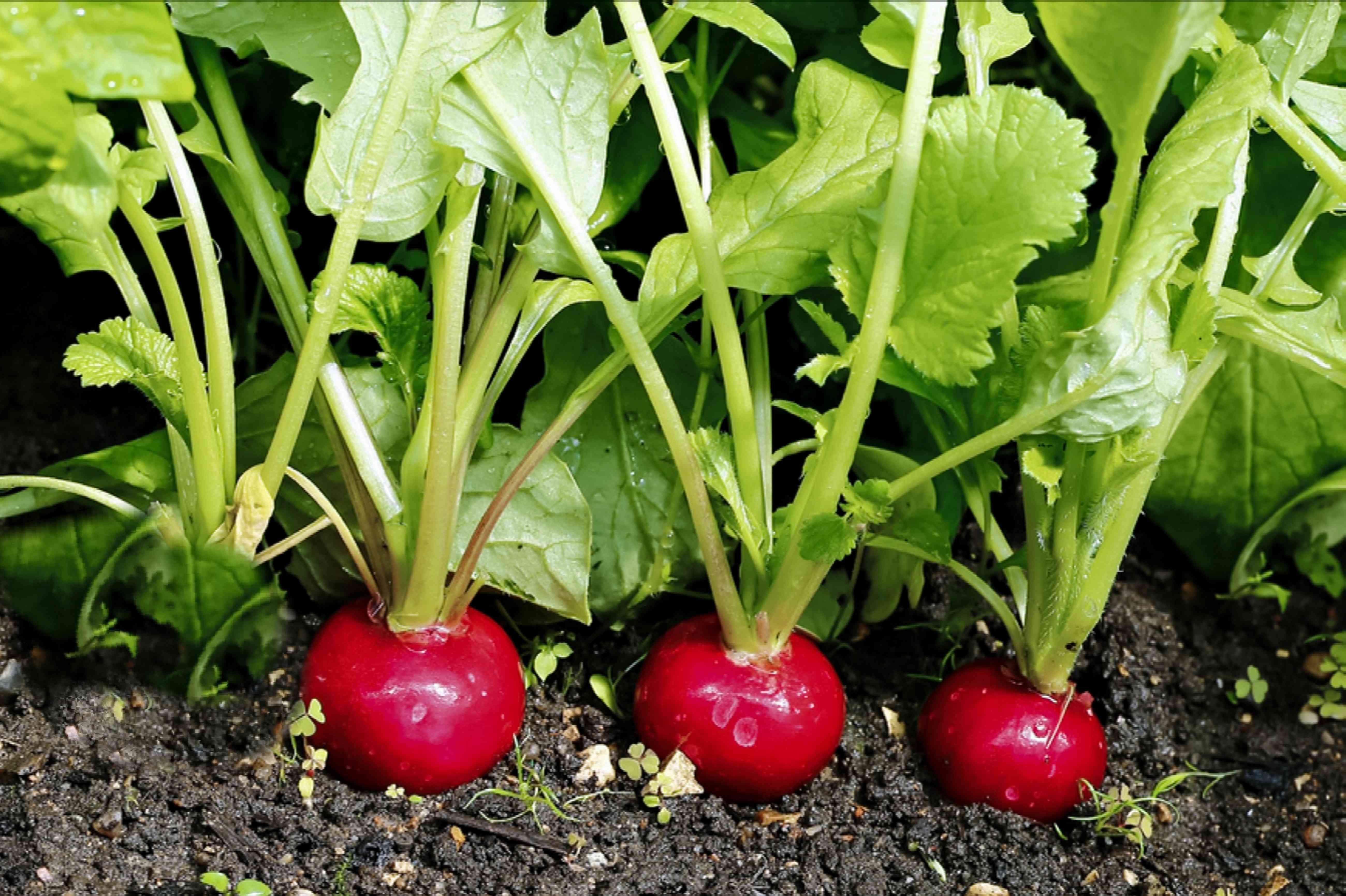 radishes ready for harvest