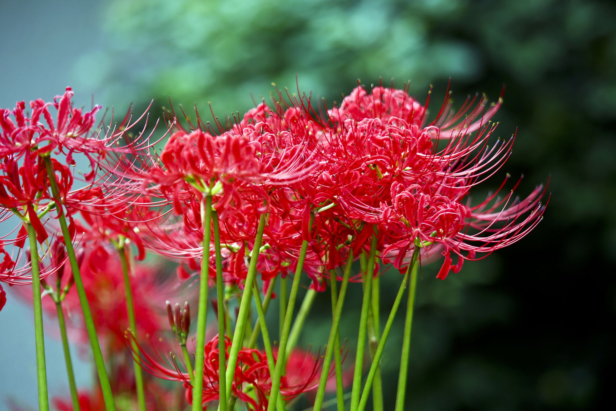 How to Grow and Care for Red Spider Lily
