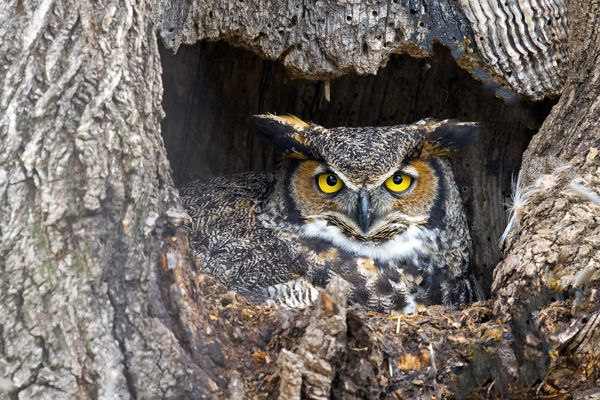 A great horned owl perched in a tree hole