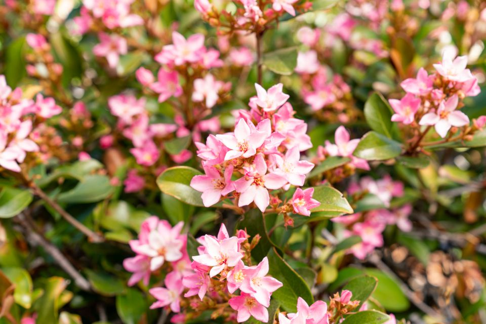 Pink flowering blossoms on shrub branches with leaves