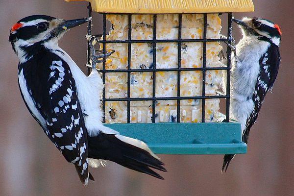 Hairy Woodpecker and Downy Woodpecker