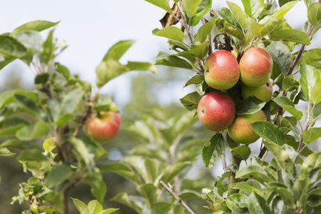 Can You Grow Apples From Seeds?