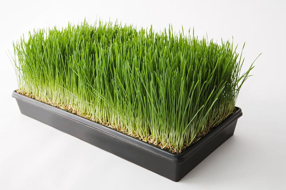 Wheatgrass seedlings in nursery tray.