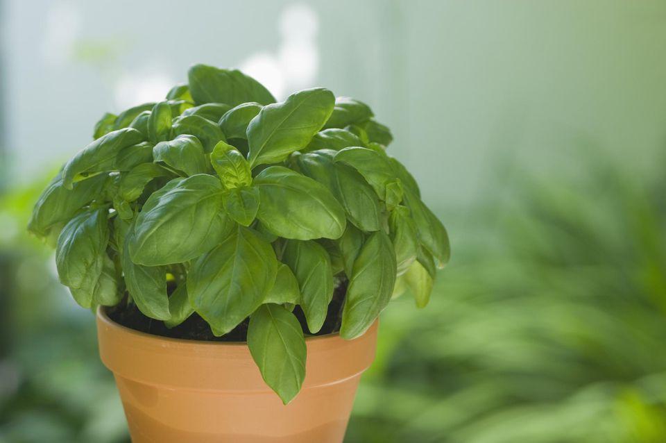 Basil in plantpot, close up