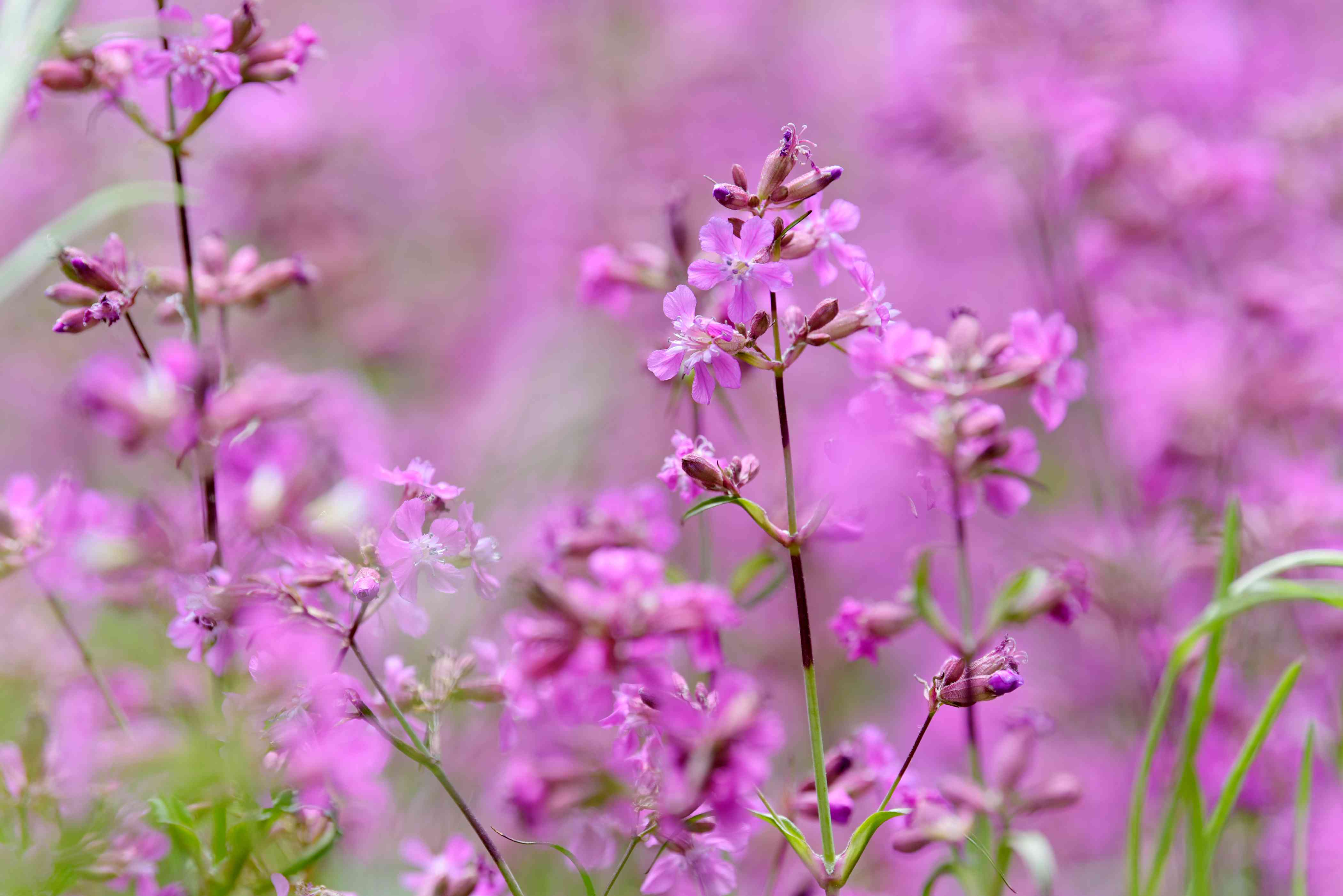 Silene viscaria plant with small pink flowers and buds on thin stems closeup