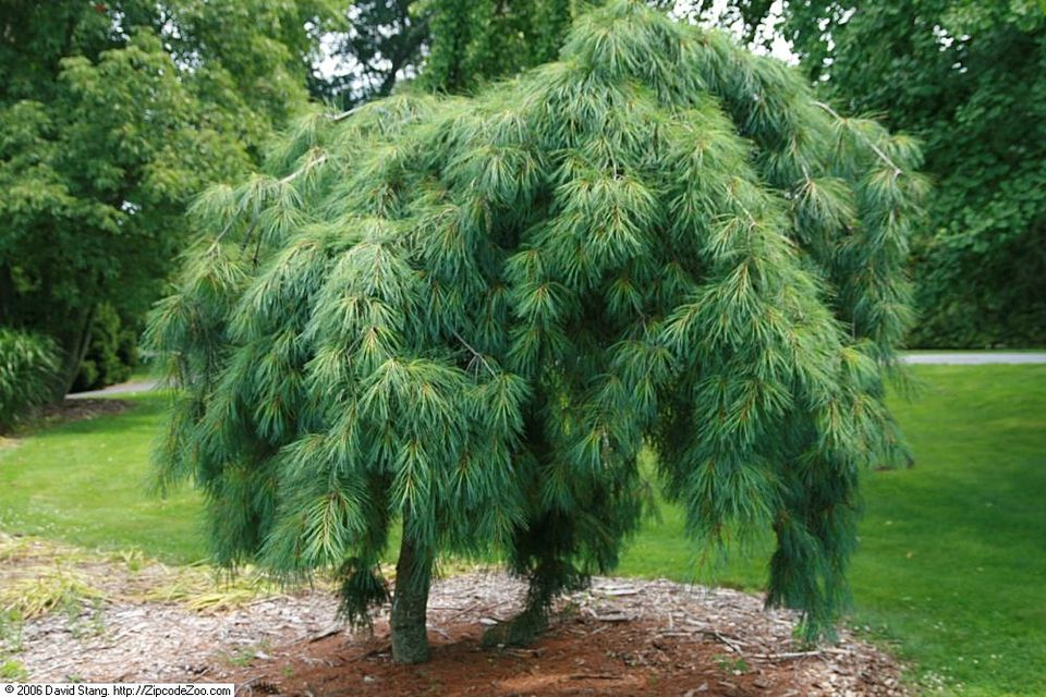 Weeping White Pine (Pinus strobus 'pendula') in a public garden
