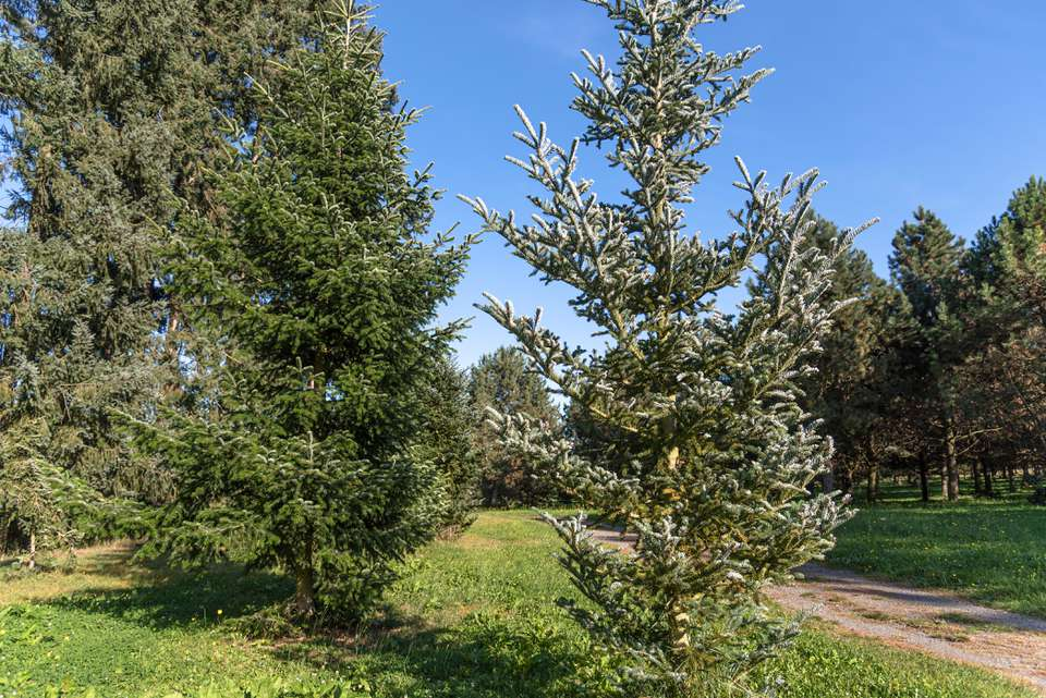 Balsam fir tree with dense gray-green needles on branches in wooded area