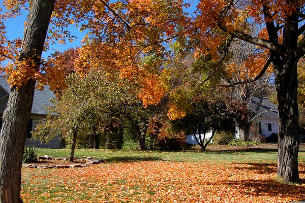 Maple leaves that have fallen on a lawn between two trees.