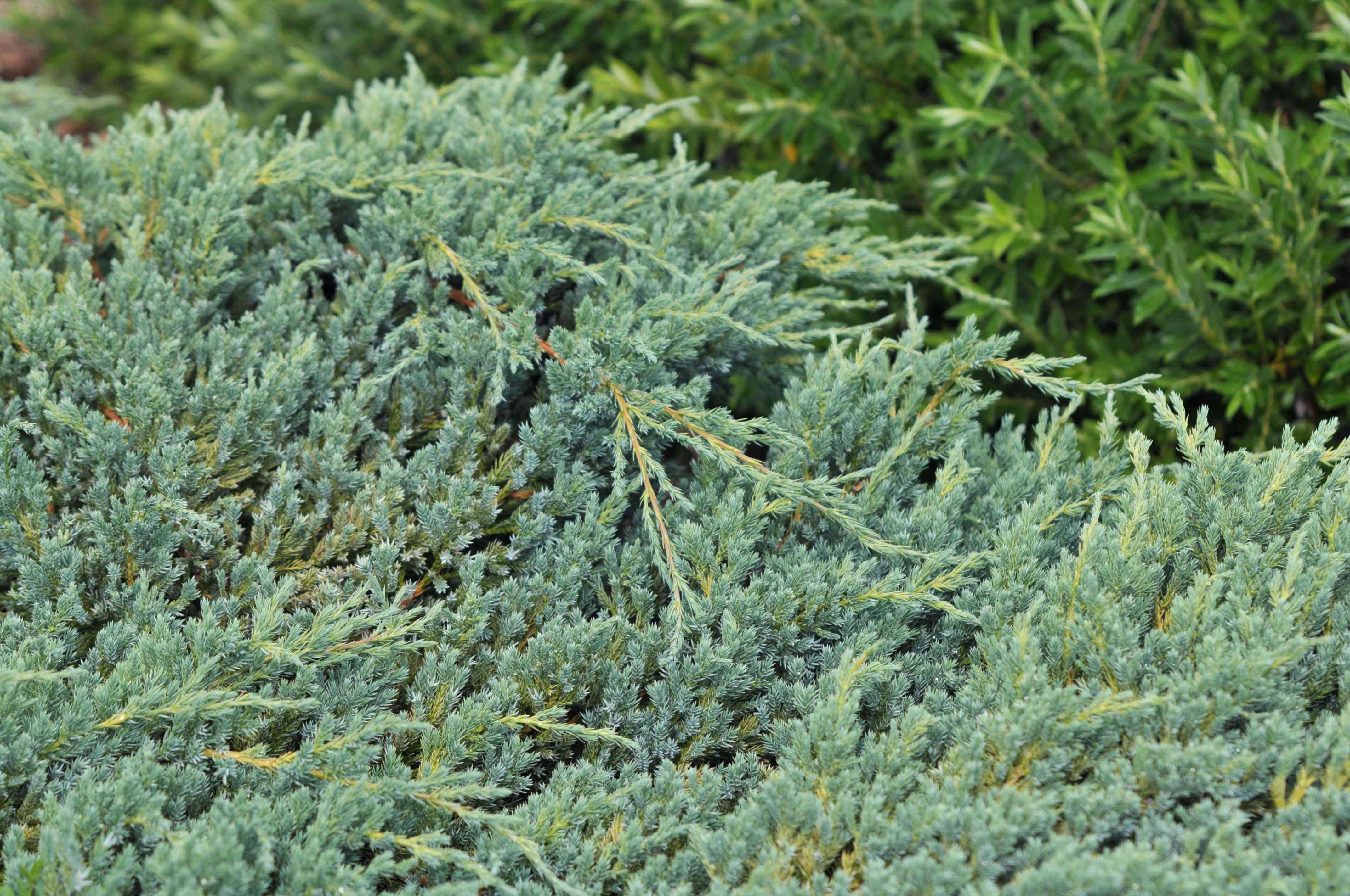 Creeping juniper shrub with blue-green scaly needles