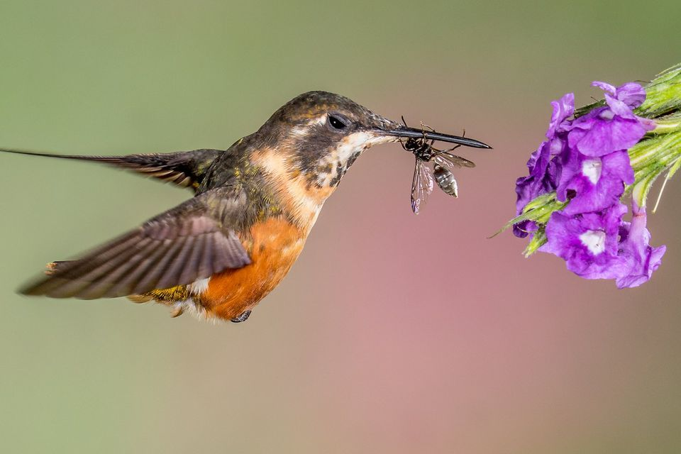 Hummingbird with an insect