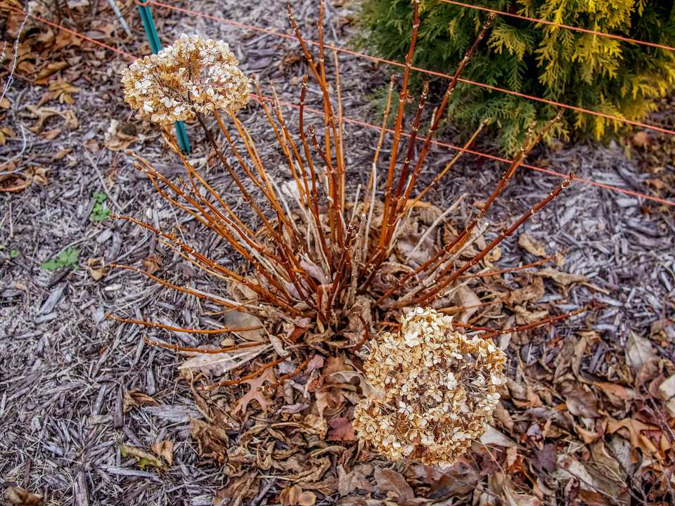 Bare root plant